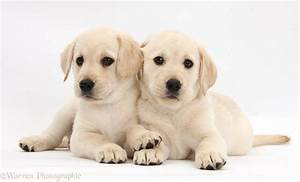 Yellow Lab Puppy Wallpaper - WallpaperSafari