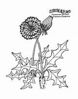 Dandelion Coloring Pages Colouring Herbs Drawing Printable Clip Blowing Dandelions Silhouette Colonial Plants Sheets Flowers Unit Thekidzpage Printables Felicity Study sketch template