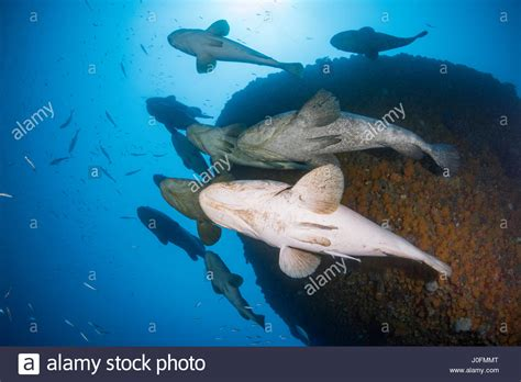 grouper goliath spawning aggregation jewfish months between during august alamy october