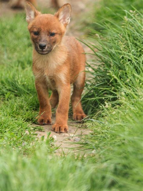 playful dhole pups  howletts wild animal park zooborns