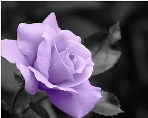 Purple images Purple Roses wallpaper and background photos ...