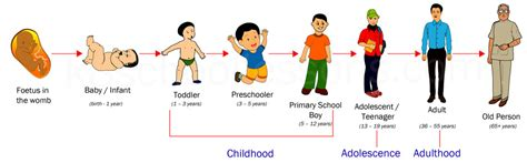 human life cycle stages  human life cycle science  kids