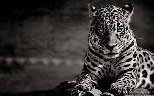 White Tiger With Blue Eyes Wallpapers 3d - Wallpaper Cave
