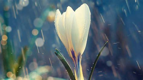 white flower   rain flowers qhd wallpaper