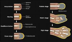 Epimorphic Regeneration  A Diagram Of Regeneration In Newt