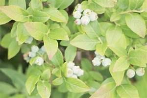 Geranien Gelbe Blätter : heidelbeeren pflanzen zeitpunkt heidelbeeren richtig pflanzen standort zeitpunkt heidelbeeren ~ Orissabook.com Haus und Dekorationen