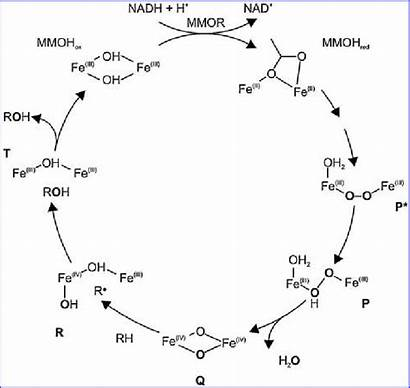 Cycle Oxygen Mmo Molecular Soluble Catalytic Derived