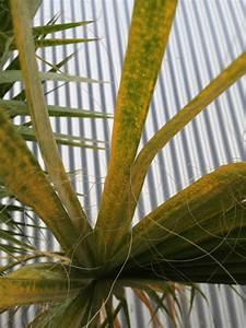 Palme Gelbe Blätter : gelbe flecken und wedeln an washingtonia seite 1 ~ Lizthompson.info Haus und Dekorationen