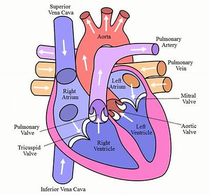 Blood Circulation Exchange Why Important
