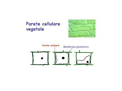 dispense biologia citologia vegetale dispense