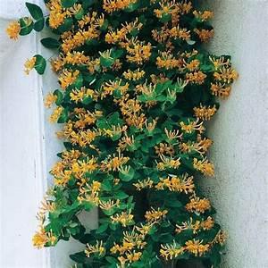 Blühende Kletterpflanzen Winterhart Mehrjährig : goldgei blatt jel ngerjelieber von g rtner p tschke ~ Michelbontemps.com Haus und Dekorationen