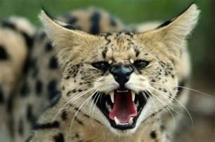 big cats attack of the big cats facts big cat week article nat