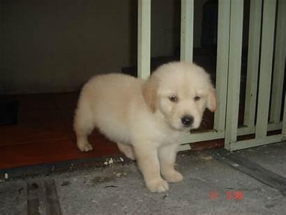 Retriever Golden Puppy Perros Mas Puppies Week