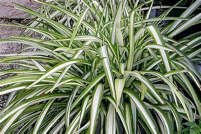 Spider Plant Air Purification Plants Variegated Houseplants