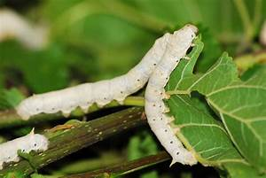 File:Bombyx mor... Silkworm