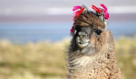 Wonderful Llama Photo by Wonderful Llama Photo Llama Wallpaper 12189