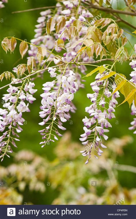 Pale Violet Purple Lilac Pink Flowers Of Wisteria Climbing