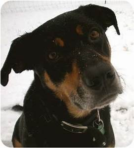 Chance | Adopted Dog | Seattle, WA | Rottweiler/Labrador ...