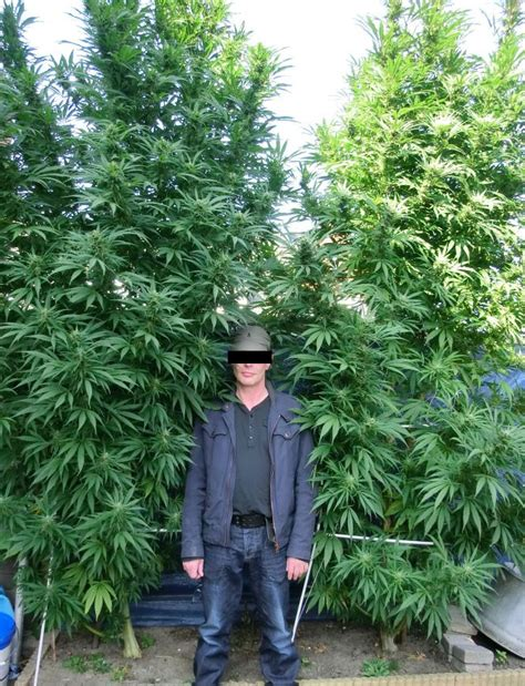 plantation de cannabis exterieur chambre culture cannabis images