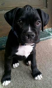 Black Boxer Breeders - Bing images