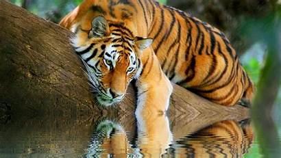Tiger Wallpapers Desktop Tigre Reflection Epic Water