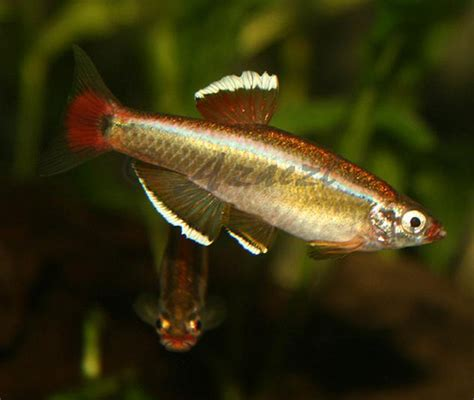 white cloud minnow white cloud mountain minnows flickr photo sharing