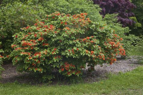 Names Of Orange Flowering Shrubs