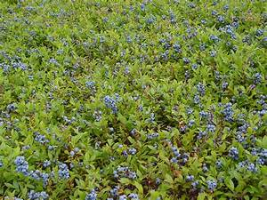 Growth and Development - Welcome to the Wild Blueberry ...