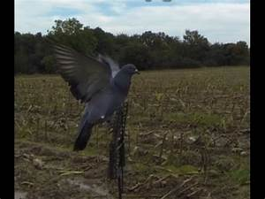 You Tube Chasse : chasse du pigeon youtube ~ Medecine-chirurgie-esthetiques.com Avis de Voitures
