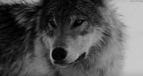 Résultat d'images pour gif loup