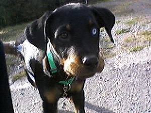Is Two Different Eye Colors Rare A Love Of Rottweilers