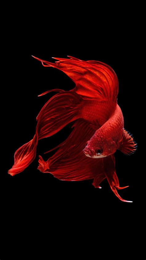 betta fish iphone   iphone  wallpaper hd animal