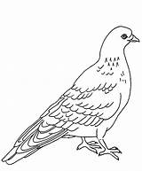 Pigeon Coloring Pages Designlooter Dove Bird 726px 75kb sketch template