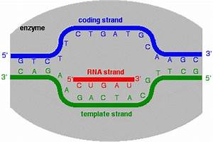 Transcription of dna into messenger rna chemistry libretexts for What is a template strand