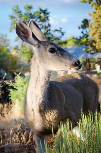 Mule deer profile stock image. Image of animal, female ...
