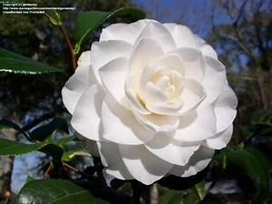 Camellia Japonica Winterhart : plantfiles pictures common camellia japanese camellia 39 sea foam 39 camellia japonica by ~ Eleganceandgraceweddings.com Haus und Dekorationen