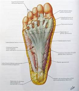 Superficial Layer Of Plantar Surface Of Foot