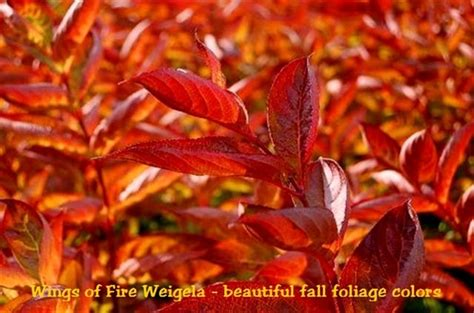 wings  fire weigela
