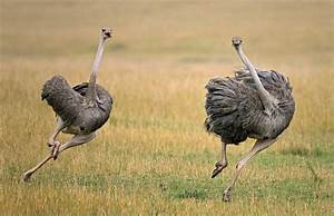 Did You Know That Ostriches Can Run Faster Than Horses