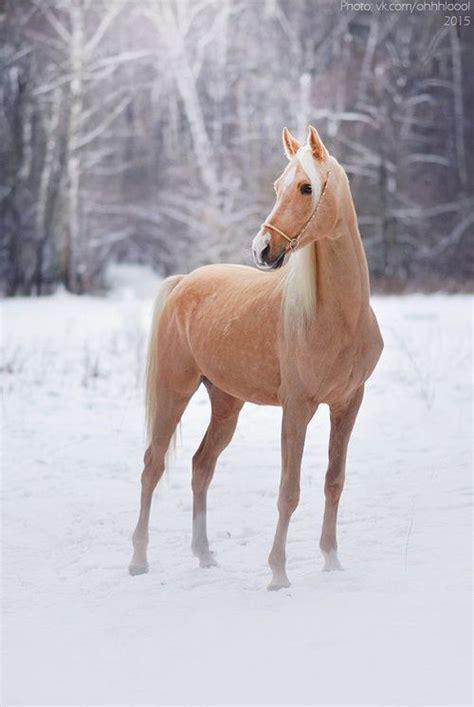 Beautiful Golden Palomino Horse
