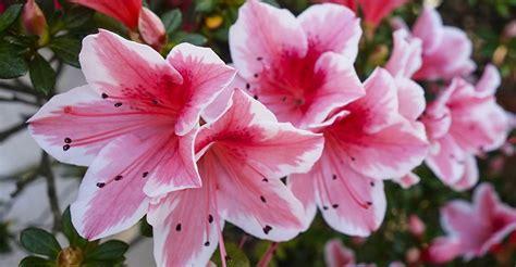 azalea in vaso azalea come curare e coltivare le azalee in vaso e in