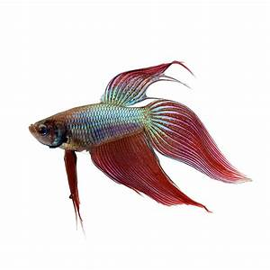 Siamese fighting fish, Betta, Betta splendens Fish Guide