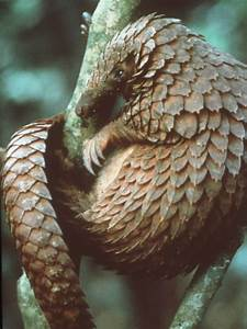 25+ best ideas about Chinese Pangolin on Pinterest ...
