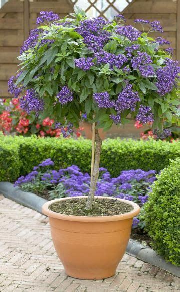 baum stecklinge ziehen vanilleblume als hochst 228 mmchen ziehen gardening hochst 228 mmchen k 252 belpflanzen und garten pflanzen