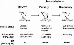Summary Of Serial Transmission Of Spont A Mouse Brain In