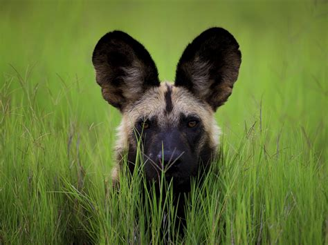Animal Hd Wallpapers 1600x1200 - animals dogs animals botswana 1600x1200