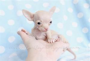 Chihuahua newborn puppies little | Tiny Teacup Chihuahua ...