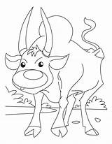 Ox Coloring Musk Clipart Template Pages Oxen Sheet Sheets Printable Templates Library Popular sketch template