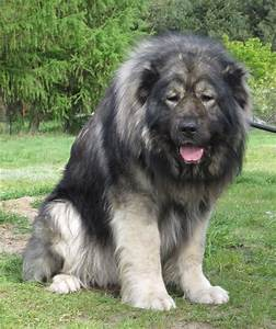my post puppies dogs Russia caucasian mountain shepherd ...