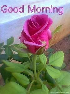 Pin Good-morning-pink-rose-for-facebook on Pinterest